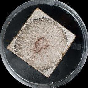 Aureobasidium Mold